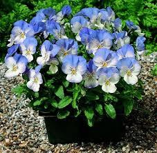 Cheap Flower Seeds - 37 best viola cornuta penny images on pinterest seeds pennies