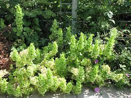 bells of ireland flower bells of ireland moluccella laevis in winnipeg manitoba mb at