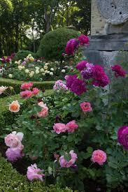 305 best garden roses images on pinterest drift roses flowers