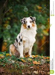 sheltie x australian shepherd young merle australian shepherd portrait in autumn royalty free
