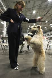 krista the soft coated wheaten terrier meet all the breeds at the