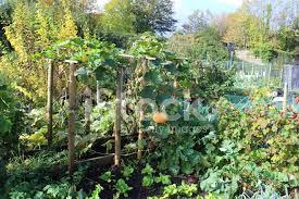 pumpkins in allotment vegetable garden pumpkin patch hanging d