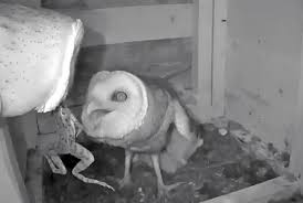 Where Does The Barn Owl Live Texas Barn Owls 2017 Update All About Birds