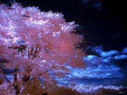 file pink tree jpg wikimedia commons