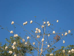 cotton tree julie in bali