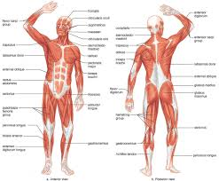 Anatomy The Human Body Diagram Of Human Body Organs Front And Back Human Anatomy Diagram