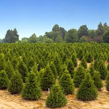 real christmas trees for sale real christmas trees for sale london