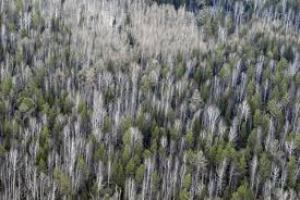 taiga native plants aerial view of larch and conifer forest in spring ural taiga