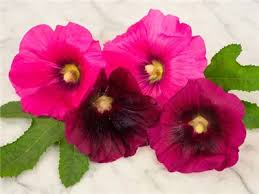 hollyhock flowers indian hollyhock baker creek heirloom seeds