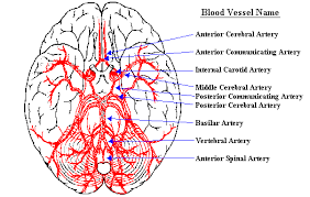 Vascular Anatomy Of The Brain Neuroscience For Kids Blood Supply Of The Brain