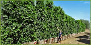 Flowering Privacy Shrubs - top 5 hollywood style hedges