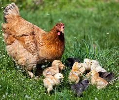 various chicken breeds with raising backyard chickens chicken