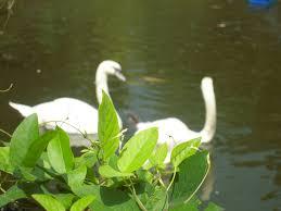 merak putih taman bunga nusantara cipanas west java indonesia riacestalily