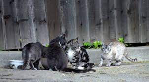cats on the roof have residents howling u2013 the mercury news