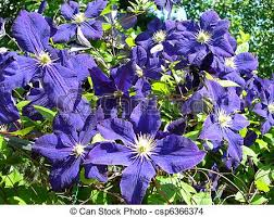 Purple Flower On A Vine - stock photo of clematis vine flowers in climbing vine of purple