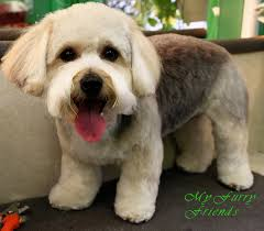 yorkie poo haircut grooming your furry friend does a poodle have to be groomed like
