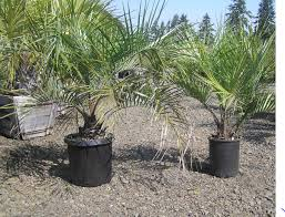 mexican fan palm growth rate hardy palms price list raintree tropical