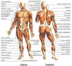muscle map worksheet human anatomy chart