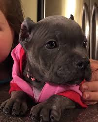 american pitbull terrier for sale in ohio 907 pitbull u0026 bullies the last frontier