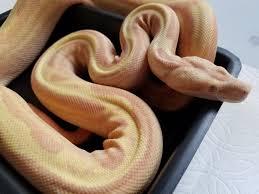 sunglow motley arabesque reptiles iii pinterest