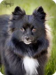 types of american eskimo dogs charlie adopted adopted dog victor mt american eskimo dog