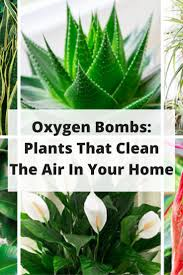these plants are oxygen bombs u0026 they clean the air in your home