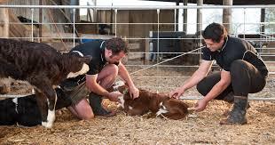 Calf Raising Barns Calf Care Dairynz