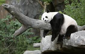 llama hd wallpapers backgrounds wallpaper v 85 hd images of pandas ultra hd 4k pandas wallpapers
