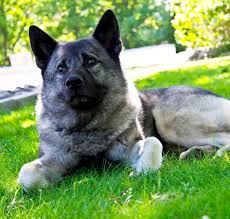american eskimo dog gestation period norwegian elkhound dog breed information pictures