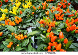 pepper plants stock images royalty free images vectors