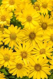 bright lights yellow african daisy osteospermum hybrid