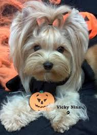 haircuts for yorkie dogs females yorkie terrier haircuts yorkshire terrier haircut yorkshire
