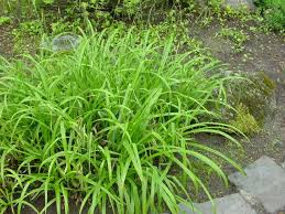 ornamental grasses roceco ecological products buy uk