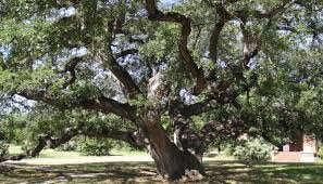 11 notable trees in the hill country