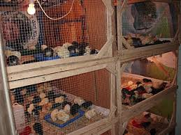 Termometer Kandang Ayam kandang pengaruhi daya kembang anak ayam panduan peternak ayam