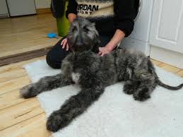 afghan hound rescue england pedigree afghan hound puppy for sale emsworth hampshire