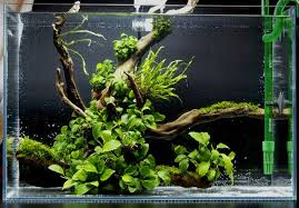 Aquascape Malaysia Image Result For Malaysian Driftwood Aquascape Aquarium