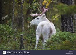 white reindeer in forest turning backwards towards