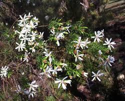 Olearia Passerinoides Daisy Bush Mallee Native Plants