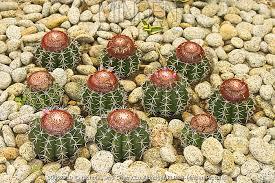 minden pictures stock photos s cap cactus melocactus