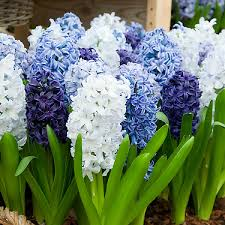 hyacinth flower hyacinth bulbs for sale buy flower bulbs in bulk save