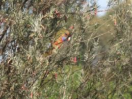 native plants adelaide feeding adelaide rosellas trevor u0027s birding