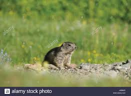 alps groundhog alpine fauna alpine stock photos u0026 alps groundhog