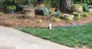 Youtube Backyard Fights Youtube Video Shows 2 Legged Squirrel Perform Handstands To Walk