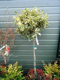 camellia english woodlands burrow nursery blog