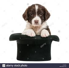 springer spaniel puppy stock photos u0026 springer spaniel puppy stock