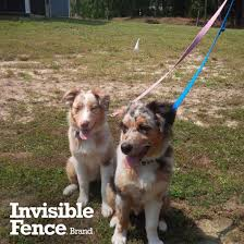 australian shepherd electric fence invisible fence brand google