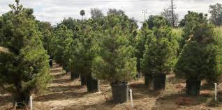 where to find a tree in los angeles