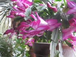 november brilliance the thanksgiving cactus schlumbergera