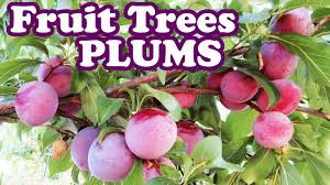 santa rosa plum tree pruning plum plants purple fruits
